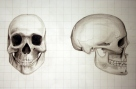Drawing II/Life Drawing: Skull Drawn to Student's Measurements
